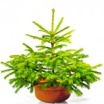 Sapin en pot