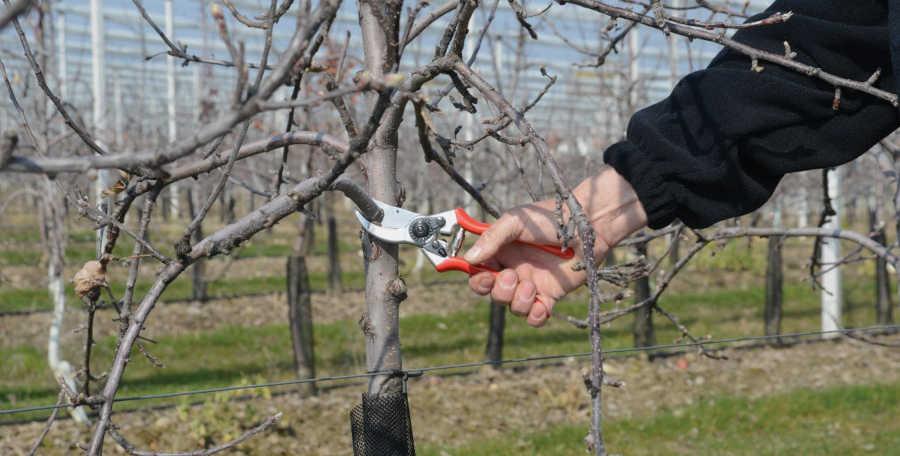 Taille de formation de fruitiers avec un sécateur Felco